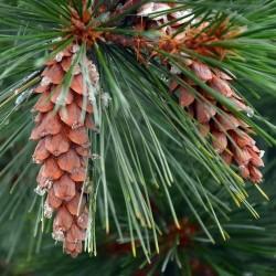 Miód spadziowy z drzew iglastych 1000 g 1